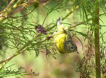 Yellow Bird Nashville Warbler. Yellow and Grey Nashville Warbler hangs from Cosmos flower stem in a garden looking for insects Stock Image