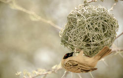 Yellow bird in nest Royalty Free Stock Images