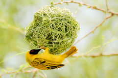 Yellow bird in nest Stock Photos