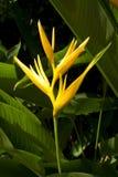 Yellow bird of paradise Royalty Free Stock Photos