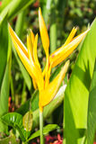 Yellow Bird of Paradise Stock Photography