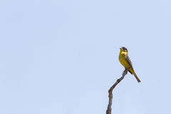 A yellow bird perched on a branch singing against clear blue sky. Stock Images