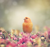 Yellow Bird Royalty Free Stock Image