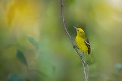 Yellow bird. Royalty Free Stock Images