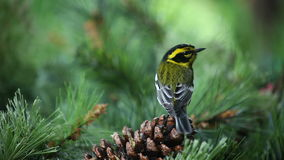 Yellow bird on pinecone