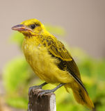 Yellow bird portrait Stock Photos