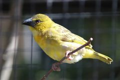Yellow bird with red eyes and a black beak Royalty Free Stock Photography