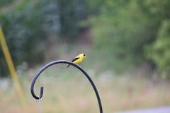 Yellow bird on shepherd& x27;s hook Royalty Free Stock Photo