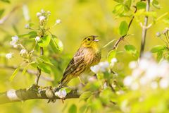 Yellow bird singing in the spring rays and colors. Natural beauty, flowering, wildlife after the winter Stock Photo