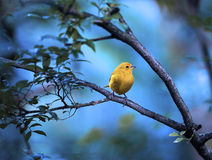 Yellow bird sitting on a branch Royalty Free Stock Image