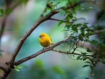 Yellow bird sitting Stock Photos