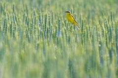 Yellow bird sitting among green wheat. Wildlife, Western yellow wagtail Royalty Free Stock Photography