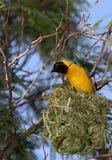 Yellow bird sitting high in air on nest