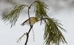 Yellow bird sitting on pine branch. Royalty Free Stock Photo