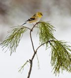 Yellow bird sitting on pine branch. Stock Photo