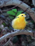 Yellow bird. Sitting on a tree branch Stock Images