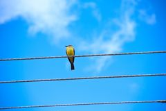 Bird in cable royalty free stock photo