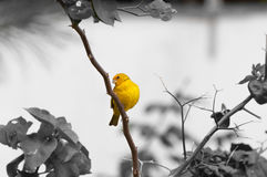 Yellow bird on tree branch with thorns and flowers Stock Image