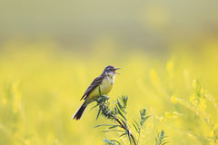 Yellow bird Wagtail flew on a summer blossoming meadow and sing Stock Photo