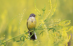 Yellow bird Wagtail flew on a summer flowering meadow clover and Stock Image