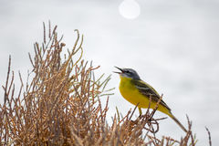 Yellow bird wagtail sing at sunny day Royalty Free Stock Image