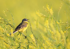 Yellow bird Wagtail sitting on a flowered summer meadow clover a. Bird Wagtail sitting on a flowered summer meadow clover and sings a song Royalty Free Stock Photo