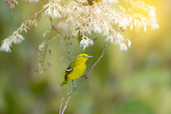 Yellow bird with white flower. Royalty Free Stock Image