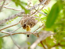 Yellow bird. A young yellow gold color asia small bird weaverbird, Ploceidae hypoxanthus, on a tree in wet land near a natural pond with his or her brown nest in Royalty Free Stock Images