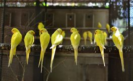Yellow birds meeting. The birds come a lot for meeting in the cage Royalty Free Stock Photography
