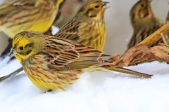 Yellow birds on white snow Stock Images