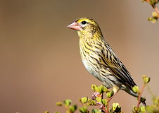Yellow Bishop. A female Yellow Bishop photographed in Langebaan South Africa stock images