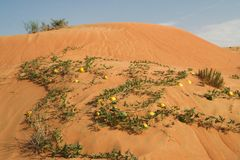 Yellow bitter apples  Citrullus colocynthis in red sand of Oman desert stock image