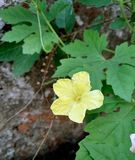 Yellow bitter gourd flower with green leafs stock images
