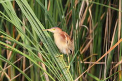 Yellow Bittern Royalty Free Stock Images