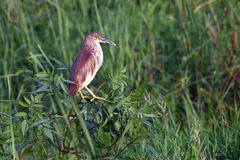 Yellow bittern Royalty Free Stock Photos