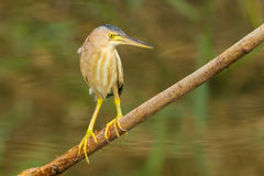 Yellow Bittern Stock Photography