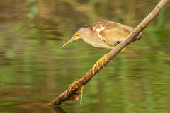 Yellow Bittern Royalty Free Stock Photography