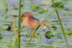 Yellow Bittern and fish Royalty Free Stock Image