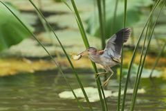 Yellow bittern flying Royalty Free Stock Images