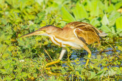 Yellow Bittern(Ixobrychus sinensis) Royalty Free Stock Photography