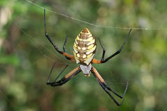Yellow and Black argiope. Macro of an argiope spider on it's web Royalty Free Stock Image