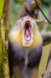 Yellow Black Baboon Royalty Free Stock Image