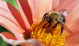 Yellow and Black Bee Stock Photography