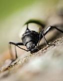 Yellow and Black Beetle digging wood macro photography Royalty Free Stock Photo