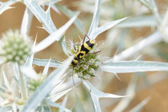 Yellow And Black Beetle Royalty Free Stock Images
