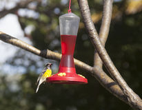 Yellow and black bird at sweetened water feeding station. A feeding station contains pink sweetened water principally for feeding butterflies at the facility.  a Royalty Free Stock Image