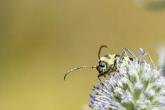 Yellow black bug close-up. Stock Images