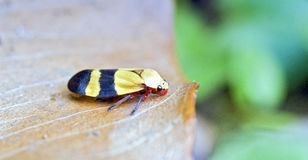 Yellow and black bug on dry leaf Stock Photos