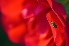 Yellow and black bug on red rose stock photos
