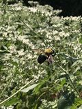 Yellow and Black Bumble Bee Close up Gathering Pollen from White. Yellow and black striped bee gathering pollen from white flowers. Bombus impatiens, the common royalty free stock images